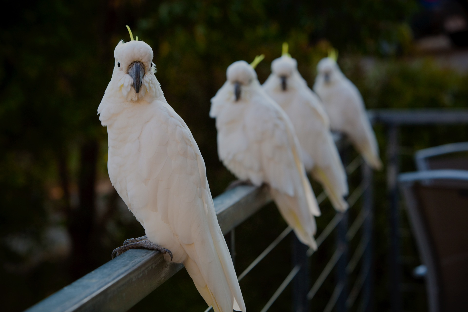 Cockatoos 25 percent black multiply